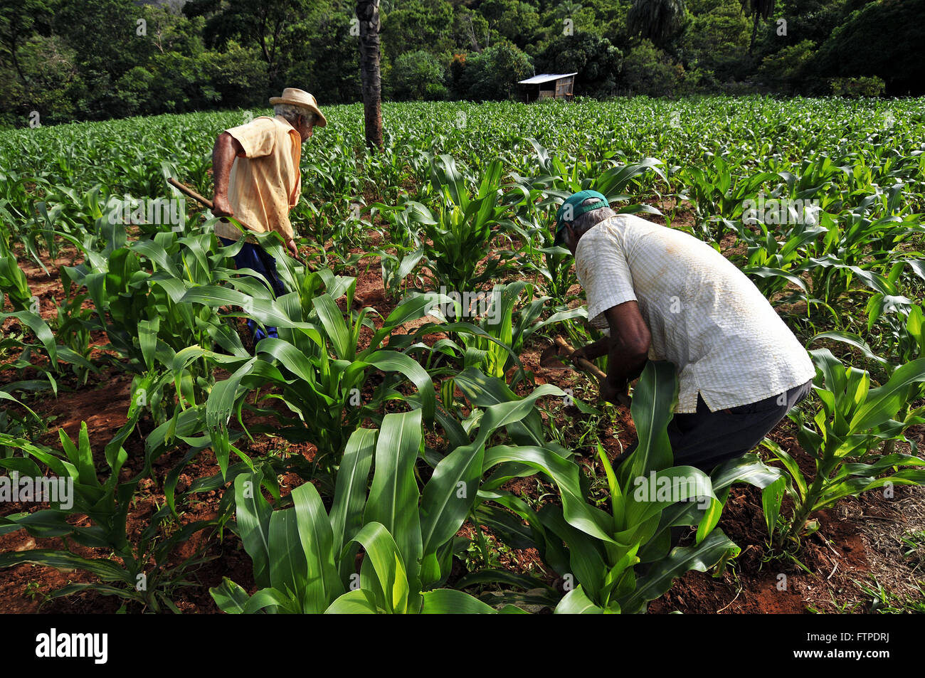 Rural workers in cornfield in the Serra do Cipo - old district of Cardinal Mota - MG Stock Photo
