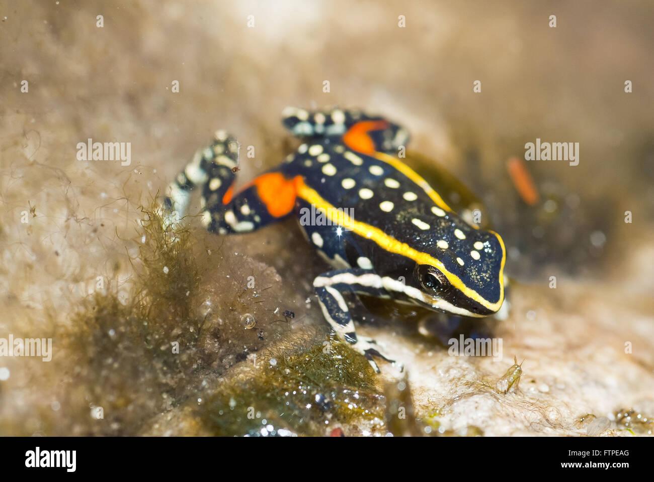 Epipedobates flavopictus endemic frog of Chapada dos - Stock Image