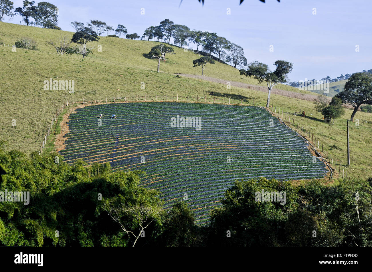 Plantation of strawberries in the rural town of stumps of Moji - southern region of Minas Gerais - Stock Image