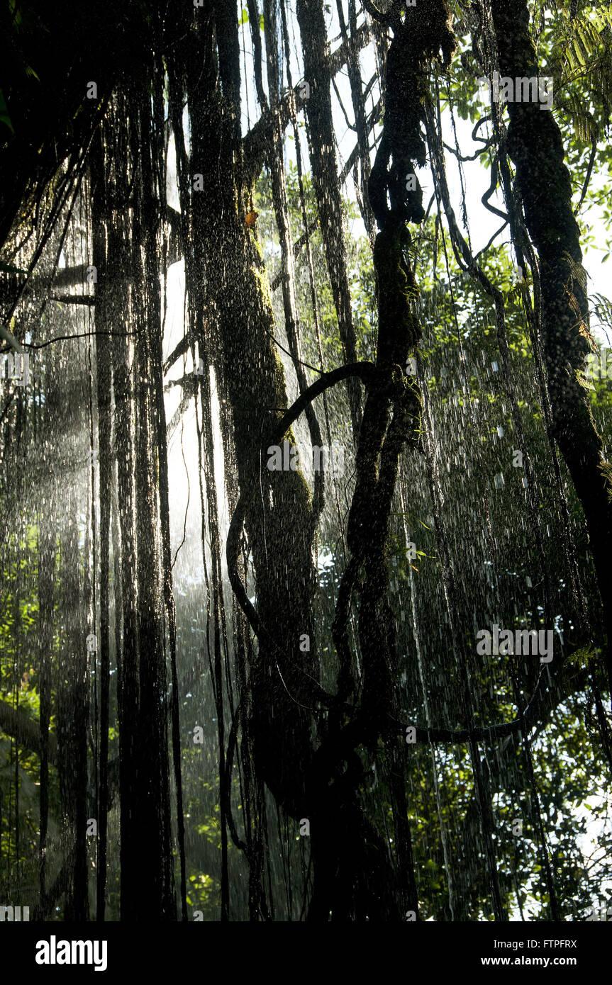 Lianas in Sao Romao waterfall in Rio Flour Chapada das Mesas National Park - Stock Image