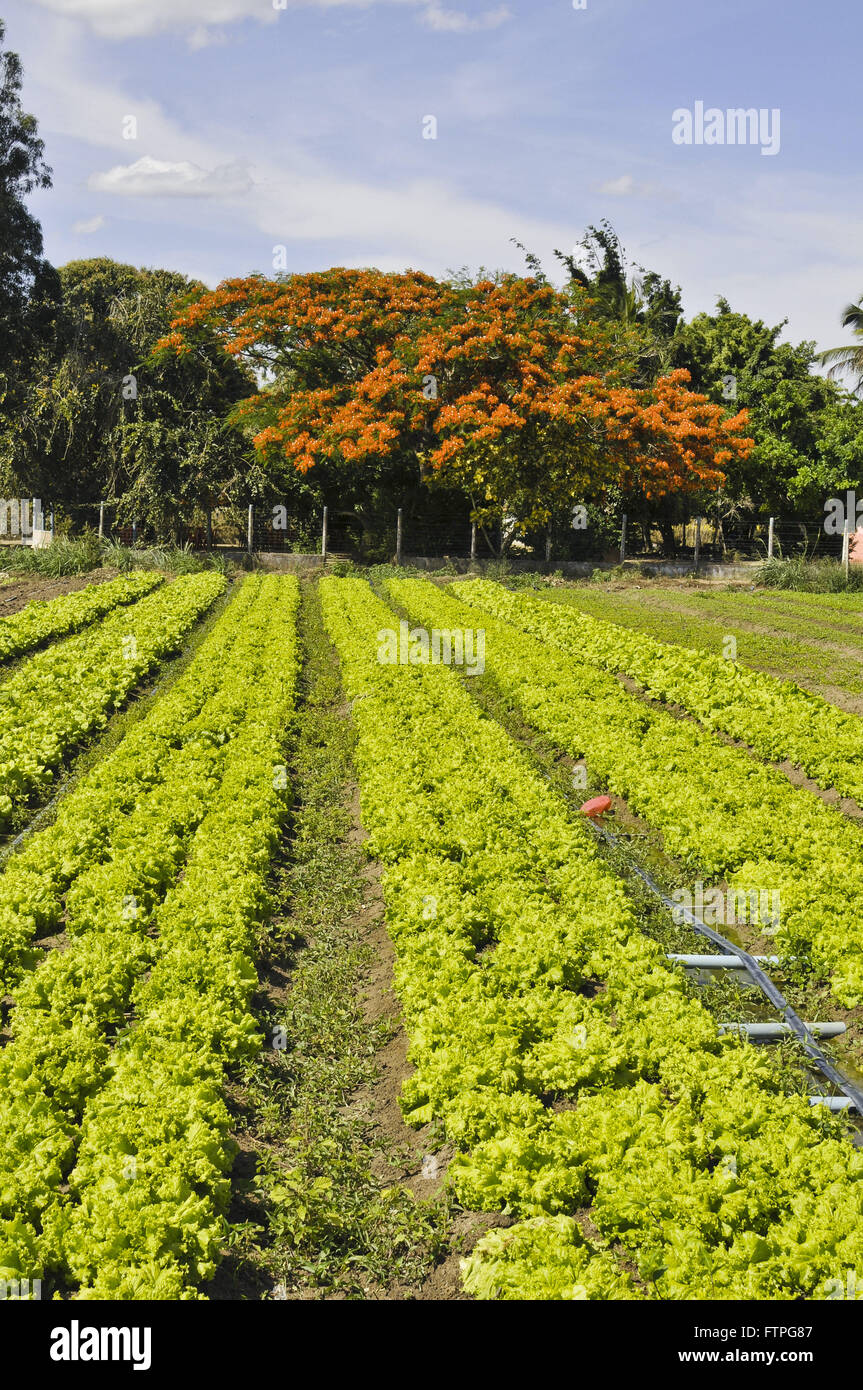 Plantation of vegetables and flamboyant trees in the countryside - the rough region - Stock Image