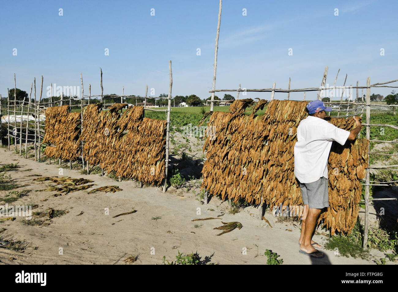 Drying tobacco leaves in the countryside - the rough region - Stock Image