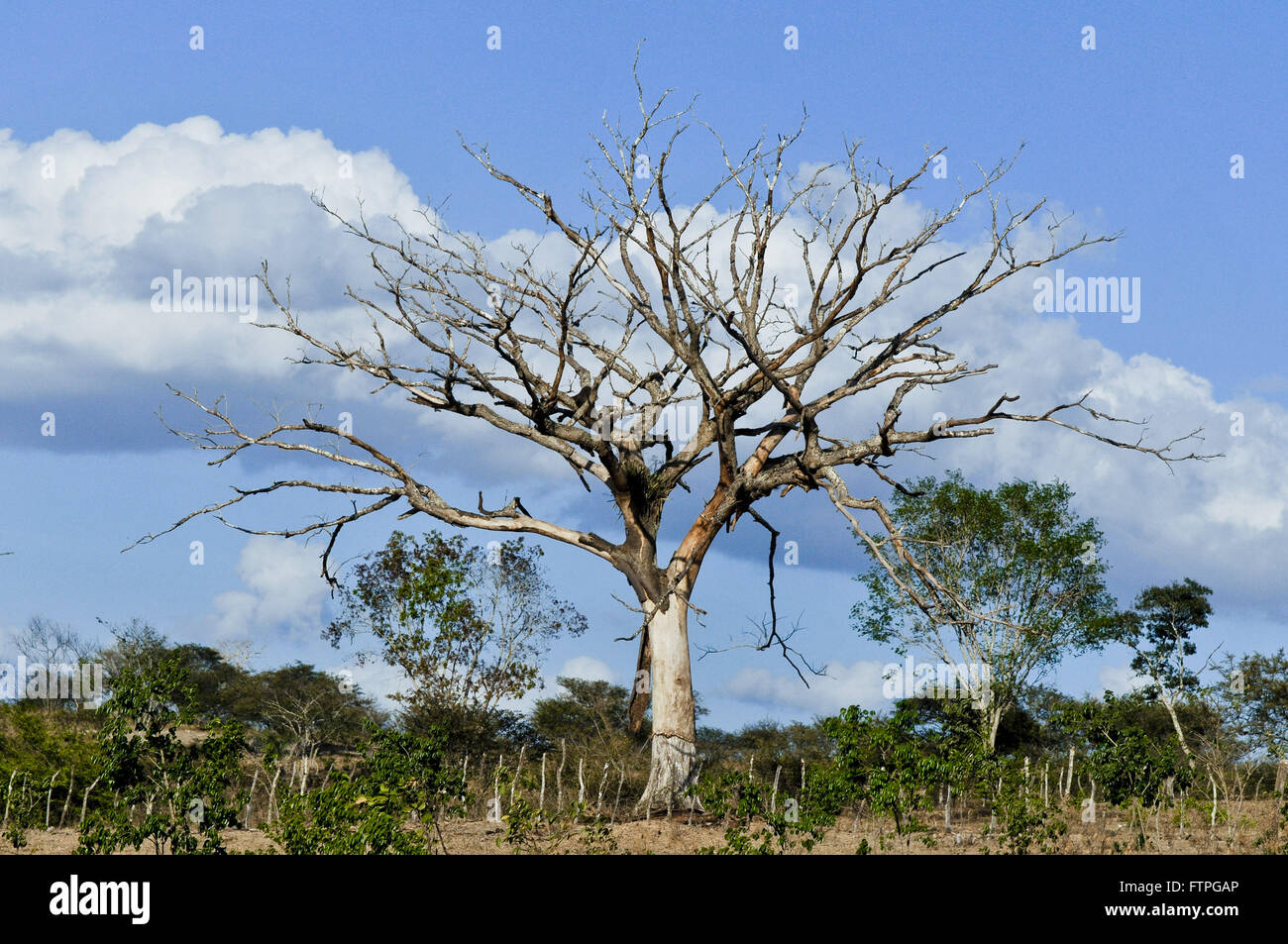 Dry tree in the countryside - Stock Image