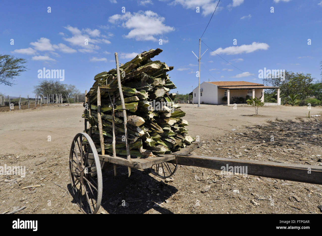 Carroca charged cactus to feed cattle on small farms - Stock Image