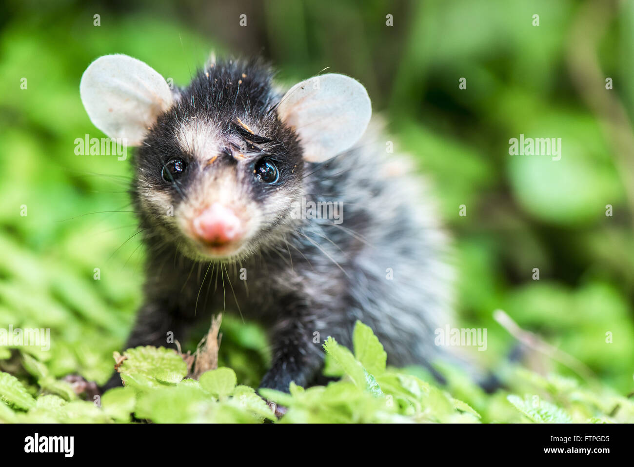 Young gamba ear white amid rain forest - Stock Image
