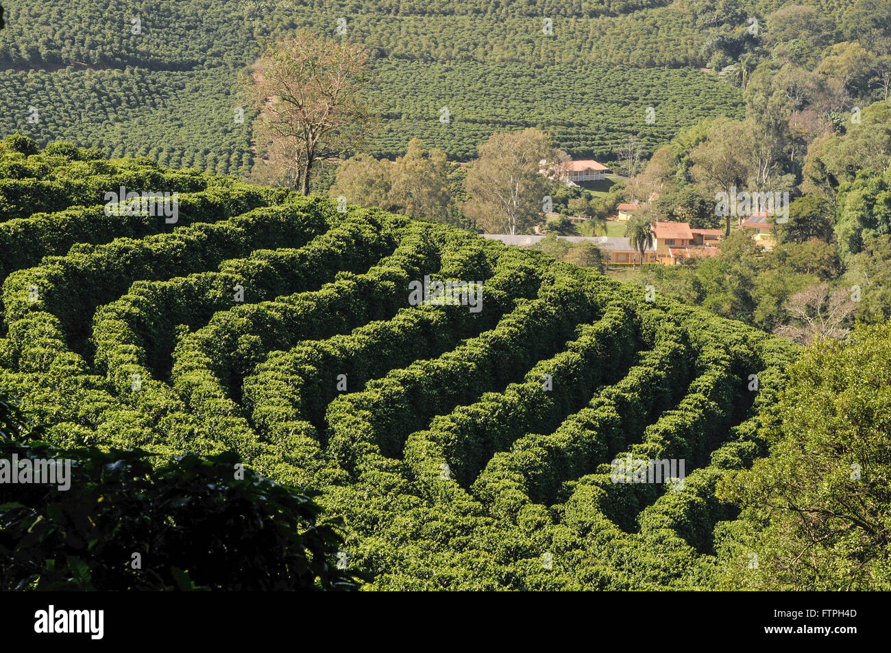 Coffee plantation in rural properties around the city - Stock Image
