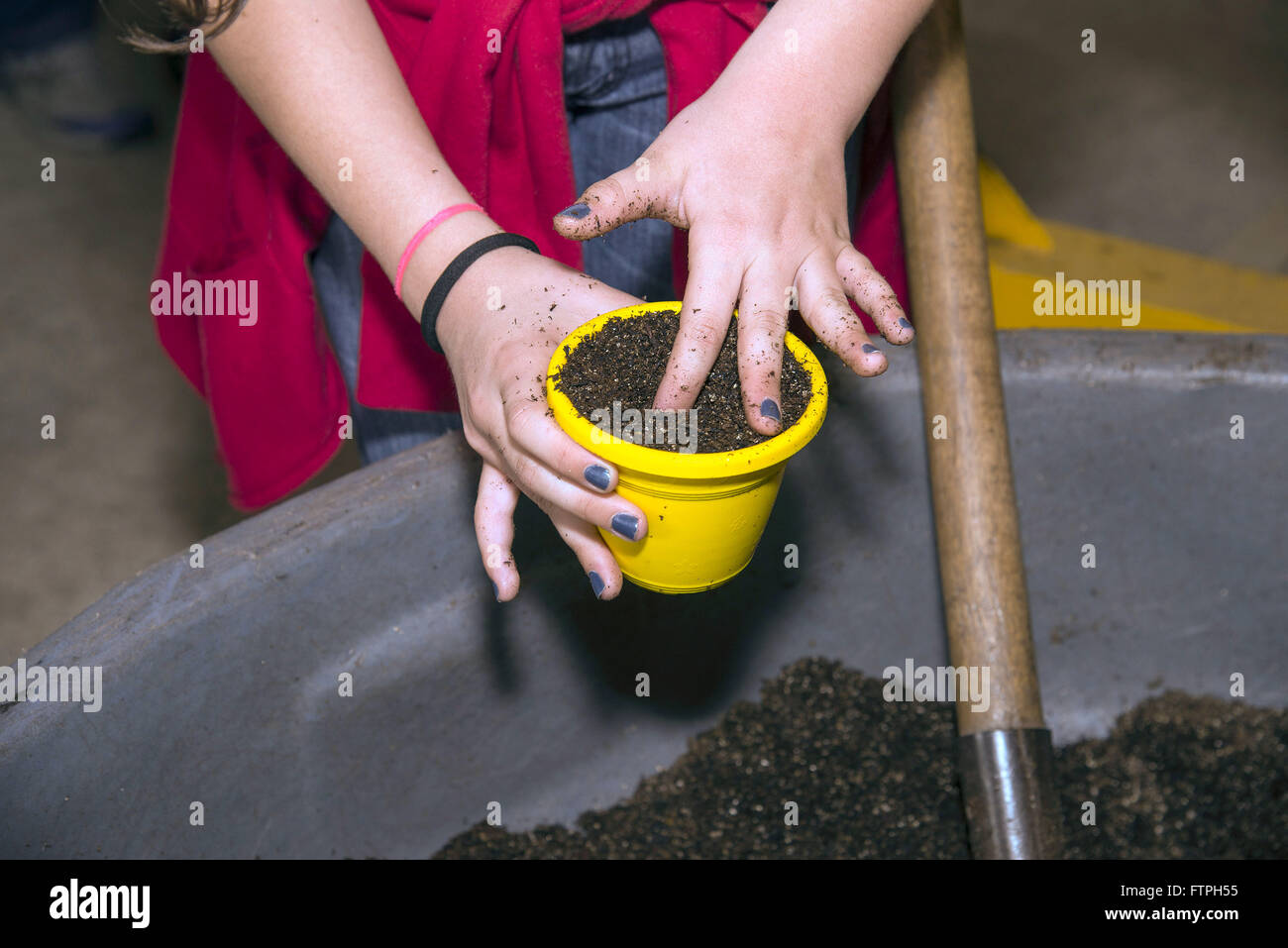 Planting seedling potted basil - Stock Image