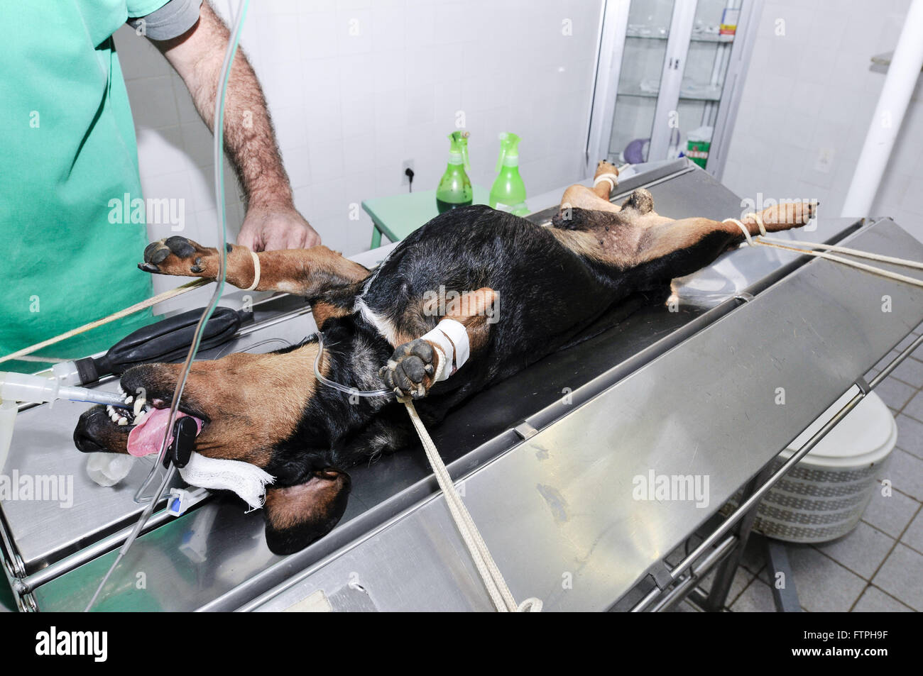 Dog on the operating table to be emasculated in the Veterinary Hospital - Stock Image