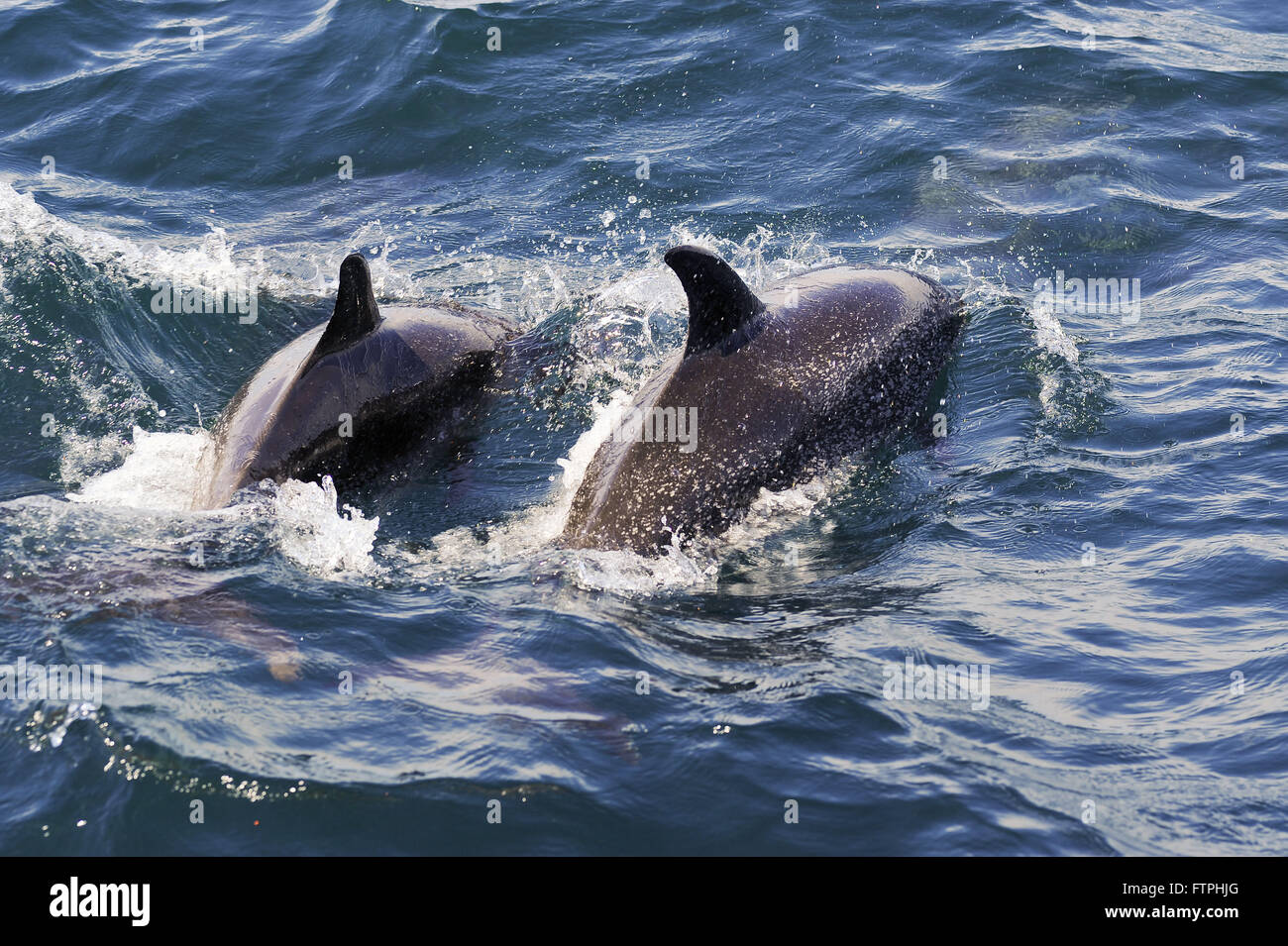 Atlantic Spotted Dolphin in the Atlantic Guanabara Bay - Stenella frontalis - Stock Image