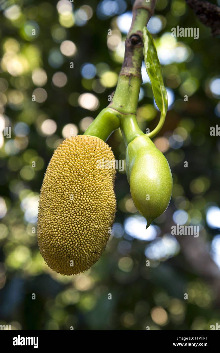 Jackfruit in farm - Zona da Mata Alagoas Stock Photo