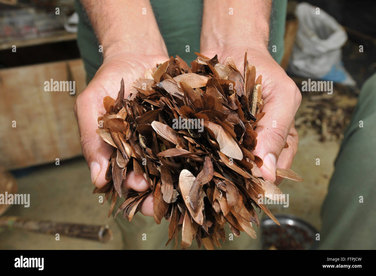 Cedar seeds in the nursery of the Rio Doce State Park - Stock Image