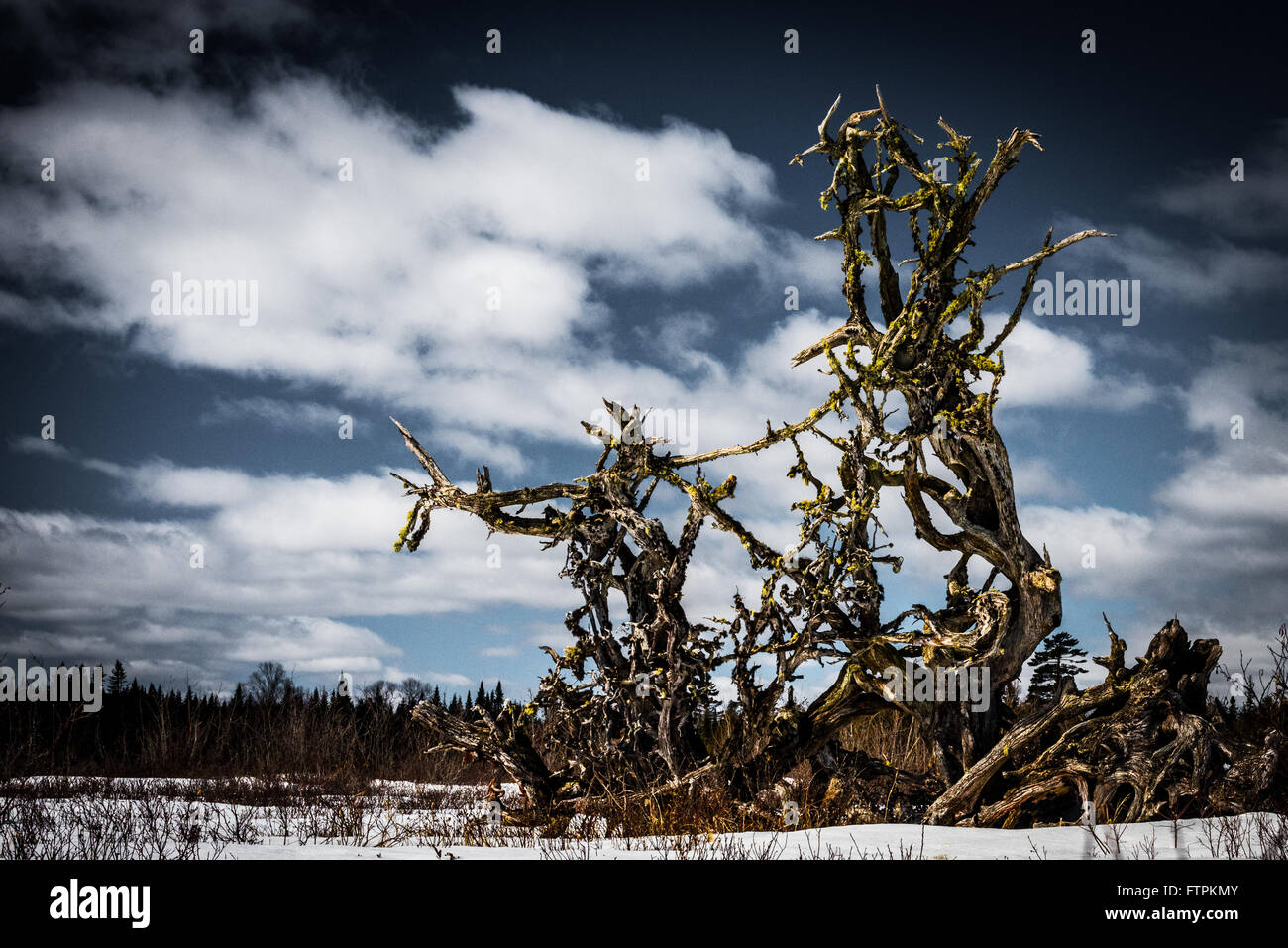 Roots of a fallen tree extend skyward where a brook empties into a lake.  The roots seem to point over the frozen - Stock Image