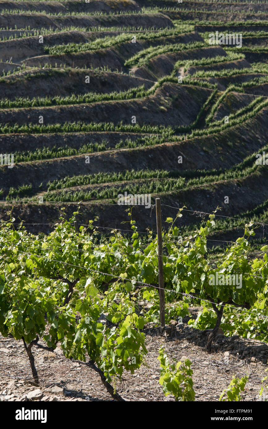 Plantation of grapes for wine production Stock Photo