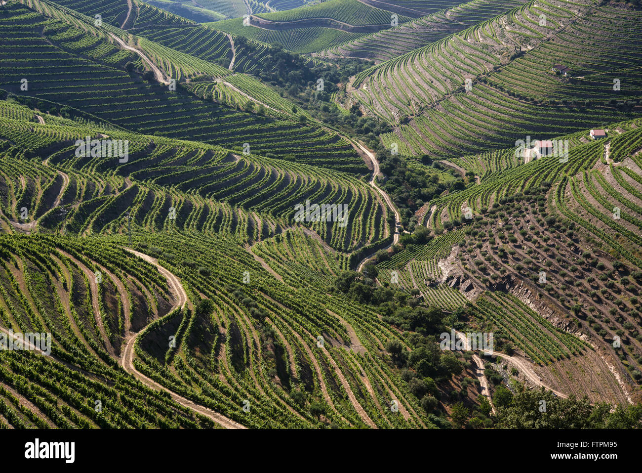 Vineyard for wine production known as - Porto - in the valley of the Douro Ervedosa Stock Photo