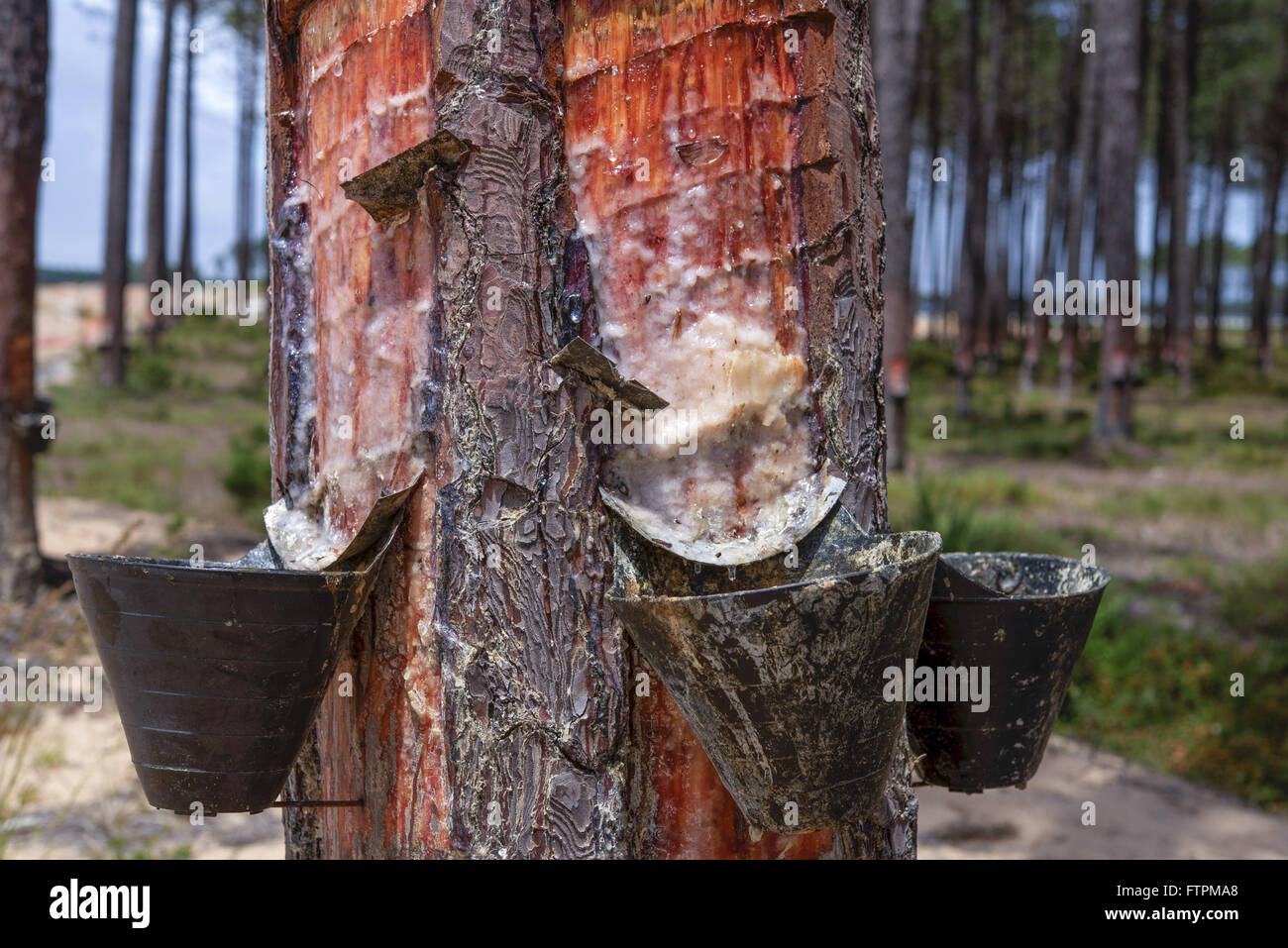 Pine plantation to extraction of resin for production of solvents - Stock Image