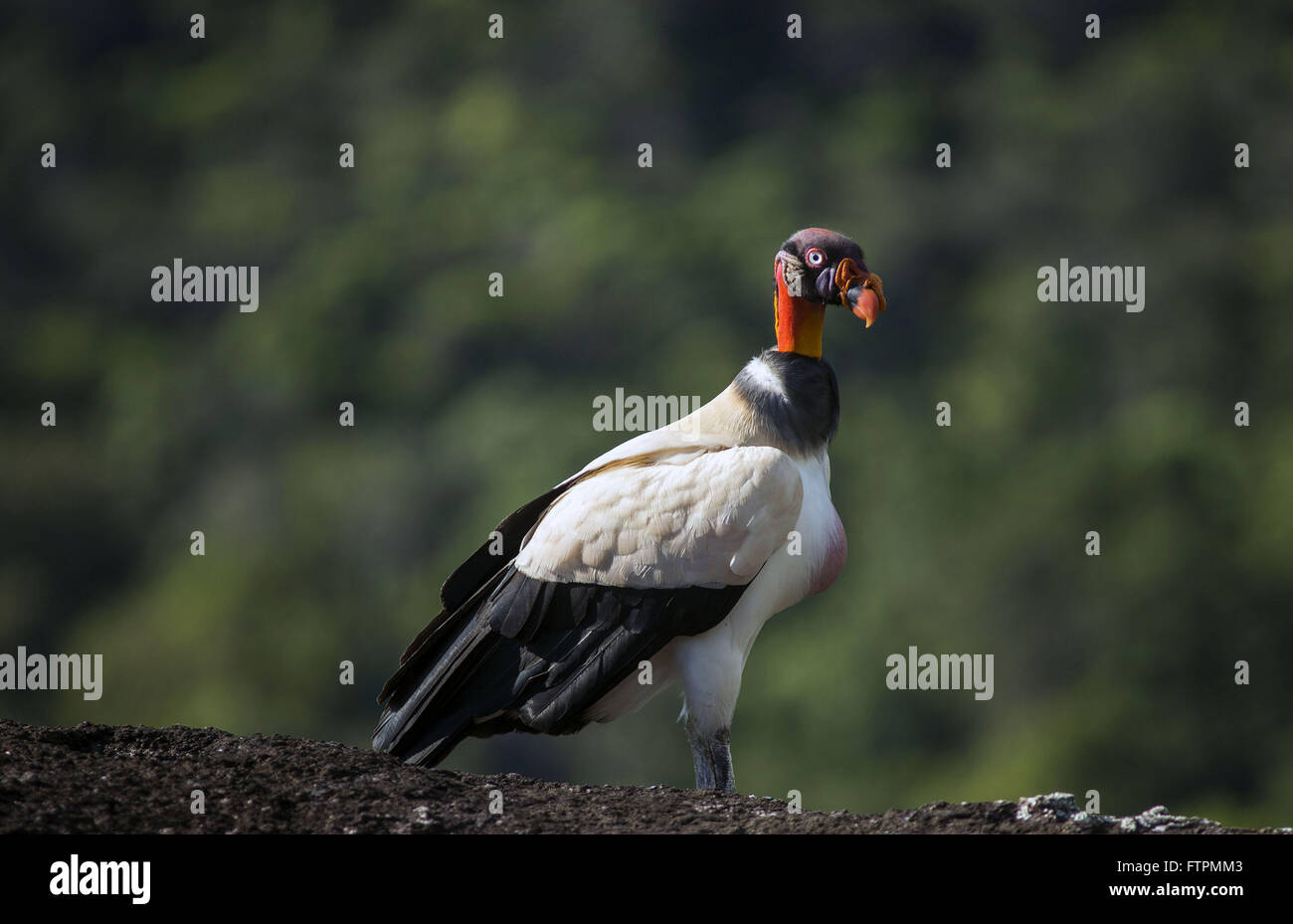 King Vulture Sierra Araraquara