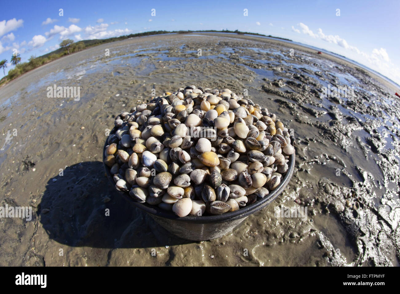 Mollusk known as pellet collected in mangroves in the Bay of All Saints - Anomalocardia en - Stock Image