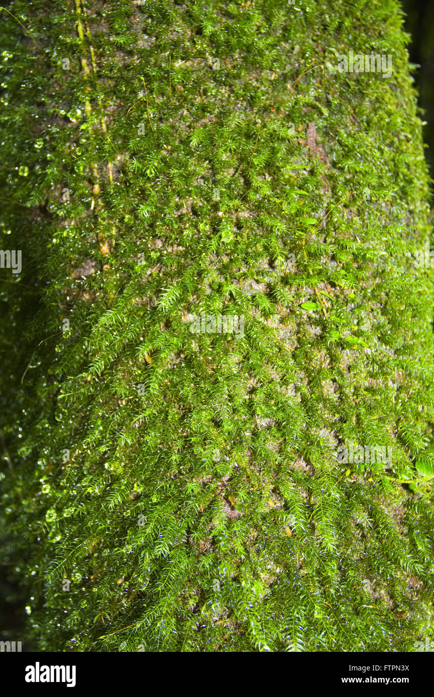 Tree trunk covered with moss in the Serra do Mar - Stock Image