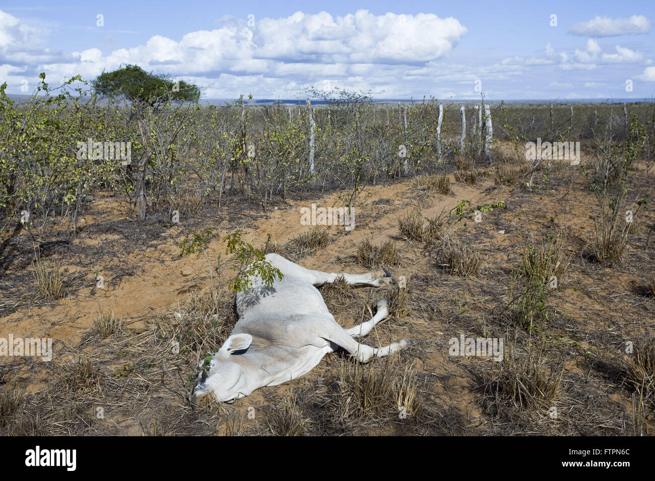 Calf killed in area affected by drought in Bahia - Stock Image