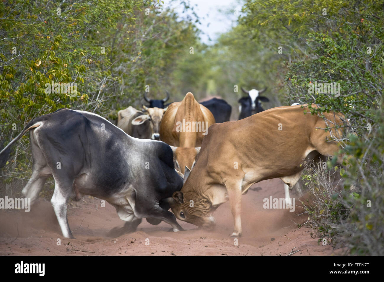 Dispute between oxen on dirt road Ecological Station of Raso da Catarina - Stock Image