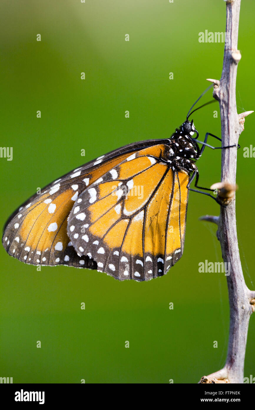 Detail of butterfly perched on twig - Stock Image