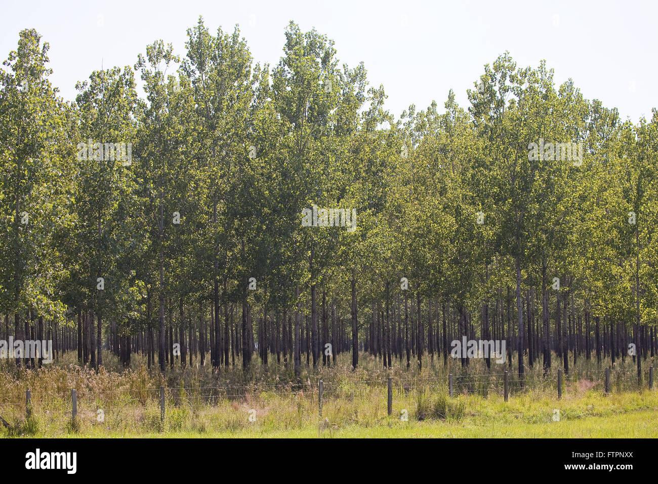 Alamo plantation for production of toothpick - Stock Image