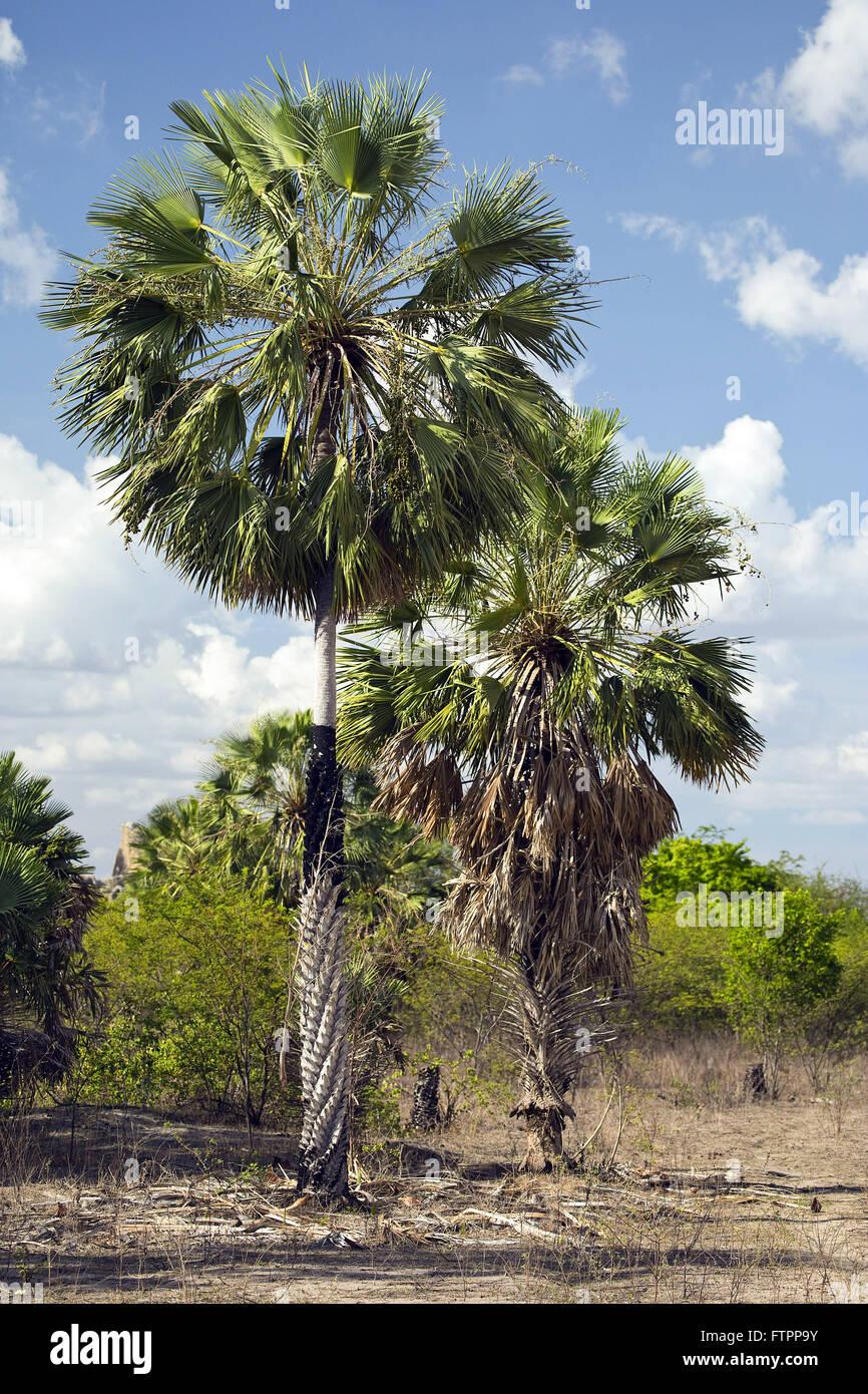 Carnauba palm trees in the bush of Ceara hinterland - Stock Image
