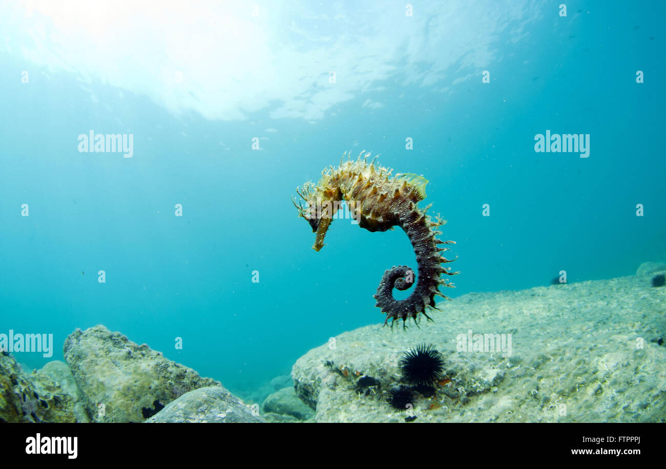 The den where he hides and lives the seahorse - Stock Image