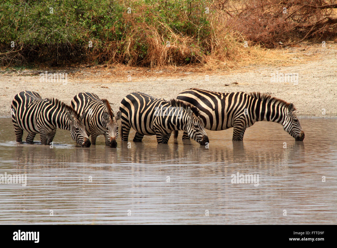 Four Zebras (Equus quagga) stand in a watering hole and drink water - Stock Image