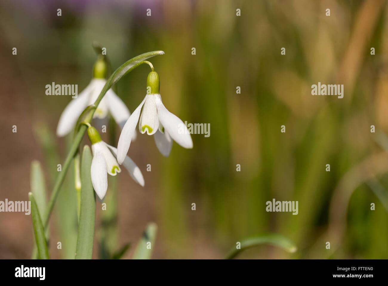 First Flower Galanthus Snowdrop Bloom In Spring Garden Stock Photo