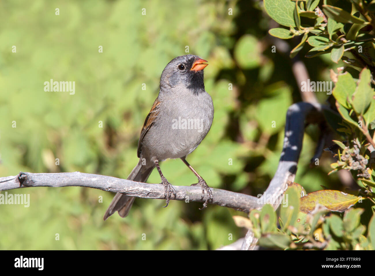Black-chinned Sparrow  Spizella atrogularis Santa Catalina Mountains, Pinal County, Arizona, United States 18 March - Stock Image