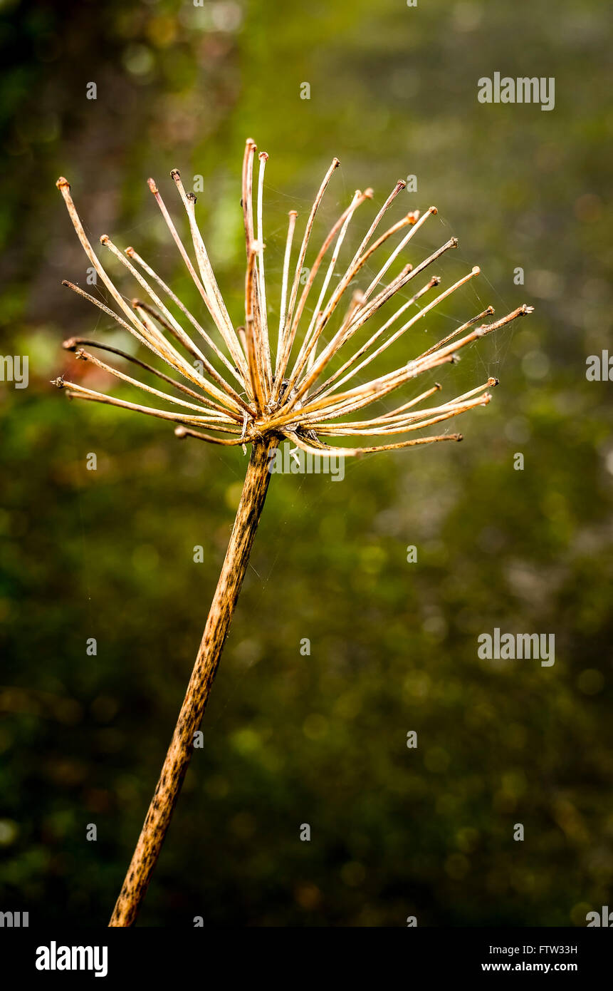 Old seedhead on agapanthus at end of winter - Stock Image