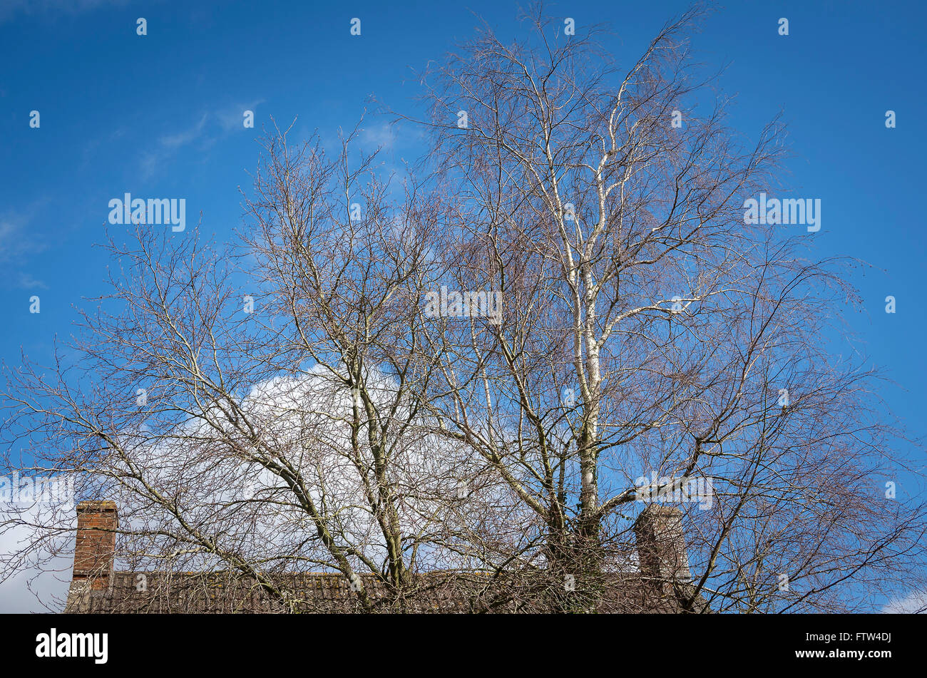 Leafless silver birch tree in early Spring in a village garden in UKreaching for the sky - Stock Image
