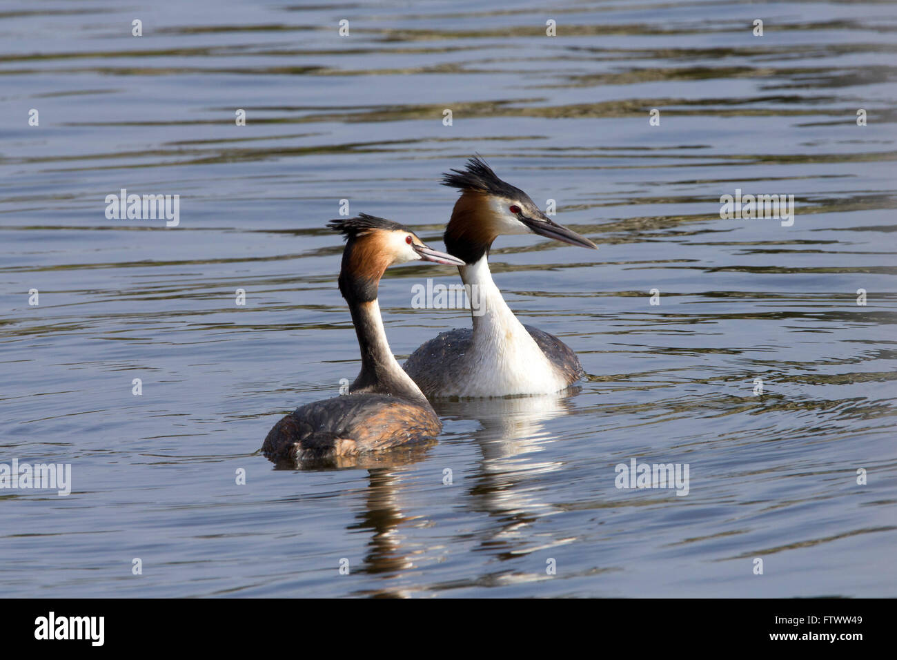 Great crested grebes in courtship display - Stock Image