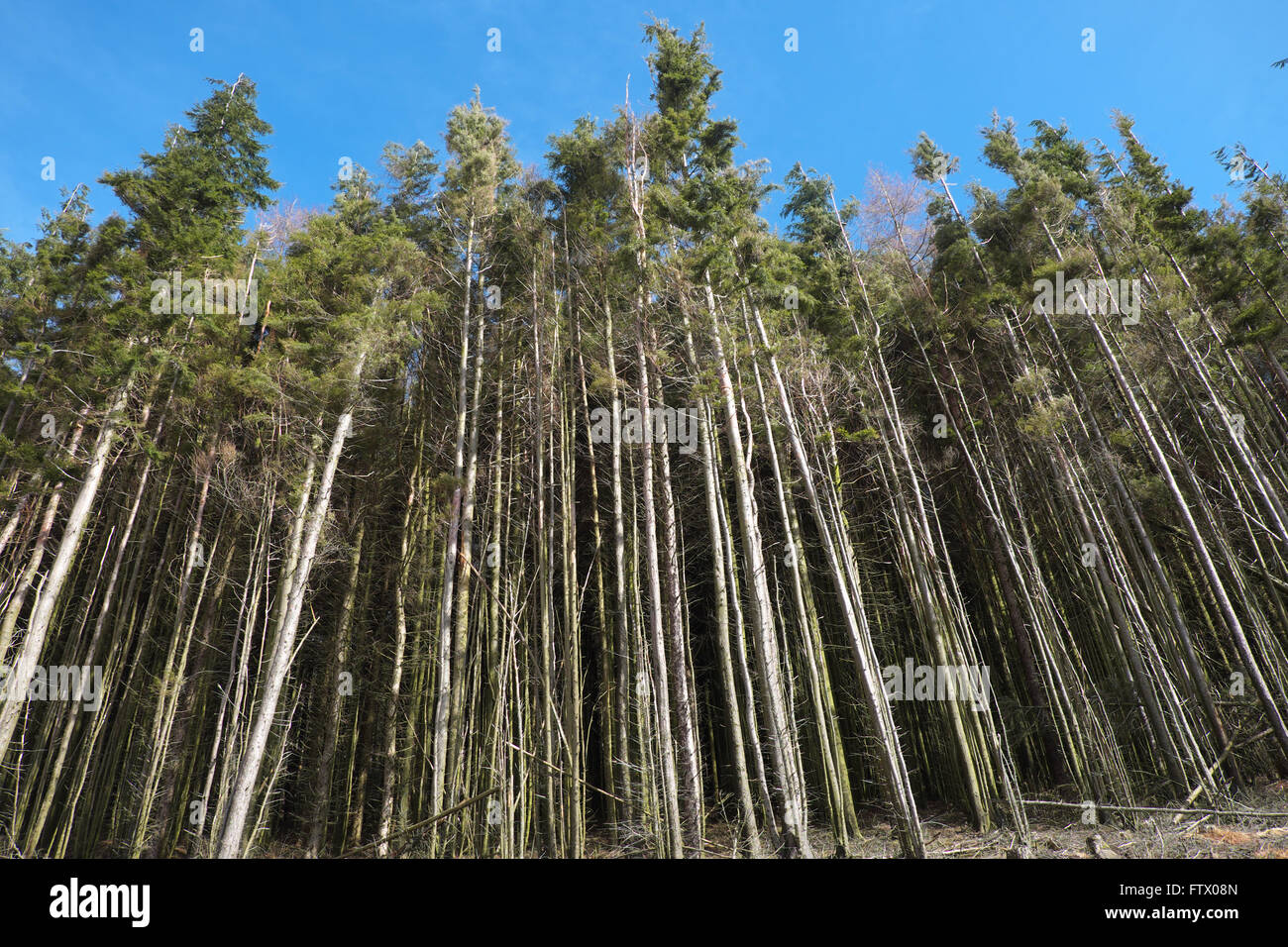 Pine trees in commercial forest in Wales UK - Stock Image
