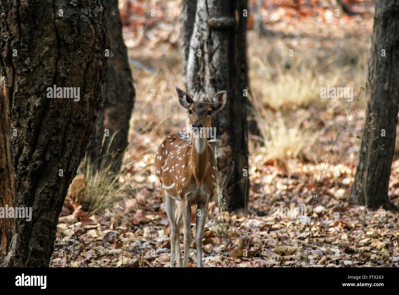Spotted deer, Bandhavgarh national park - Stock Image