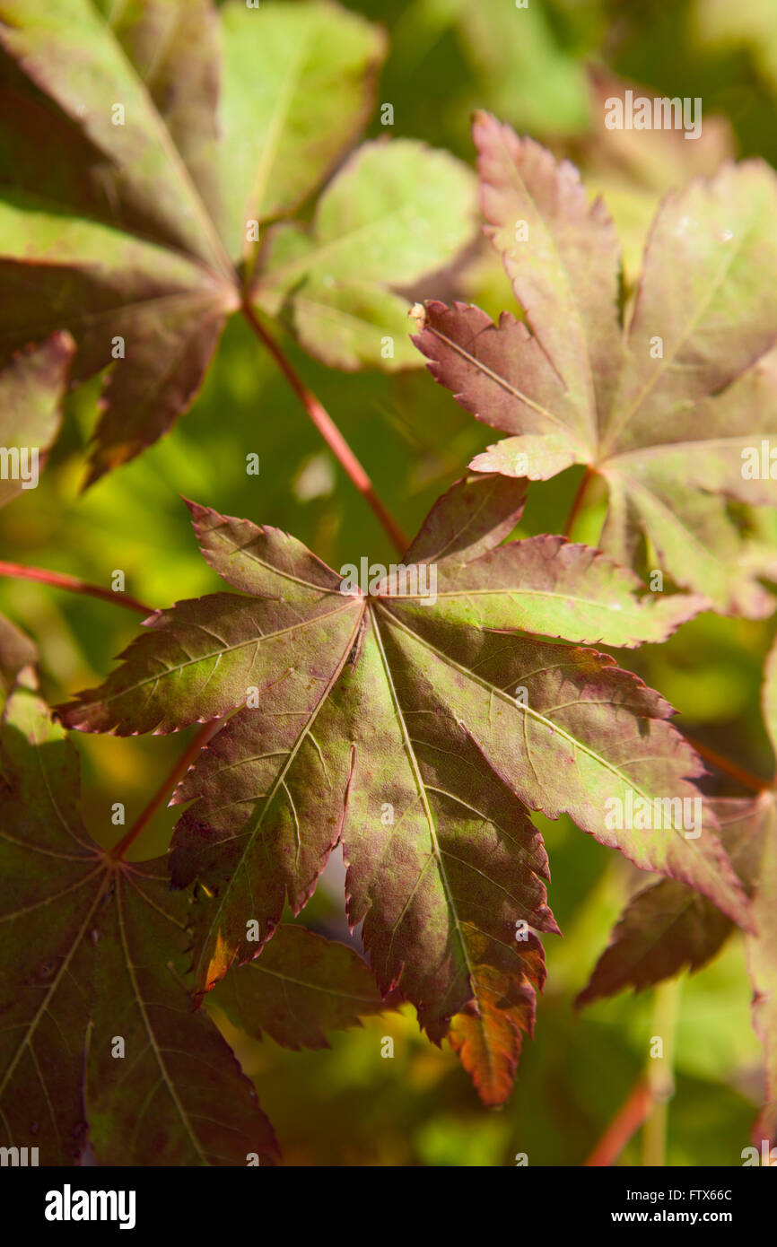 Close Up Of The Leaves Of A Small Bonsai Like Japanese Maple Tree As Stock Photo Alamy