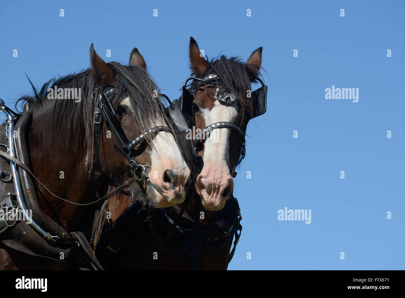 A pair of Clydesdales horses harnessed and ready for work - Stock Image