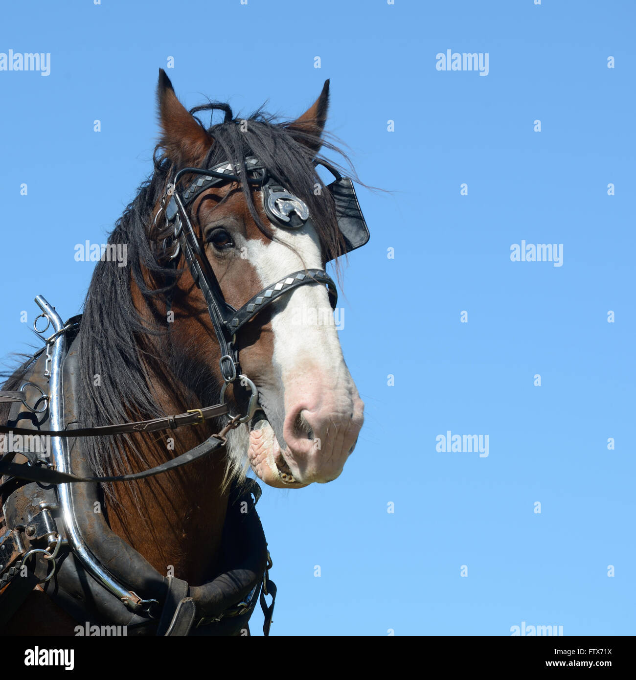 A portrait of a Clydesdale horse harnessed and ready for work - Stock Image