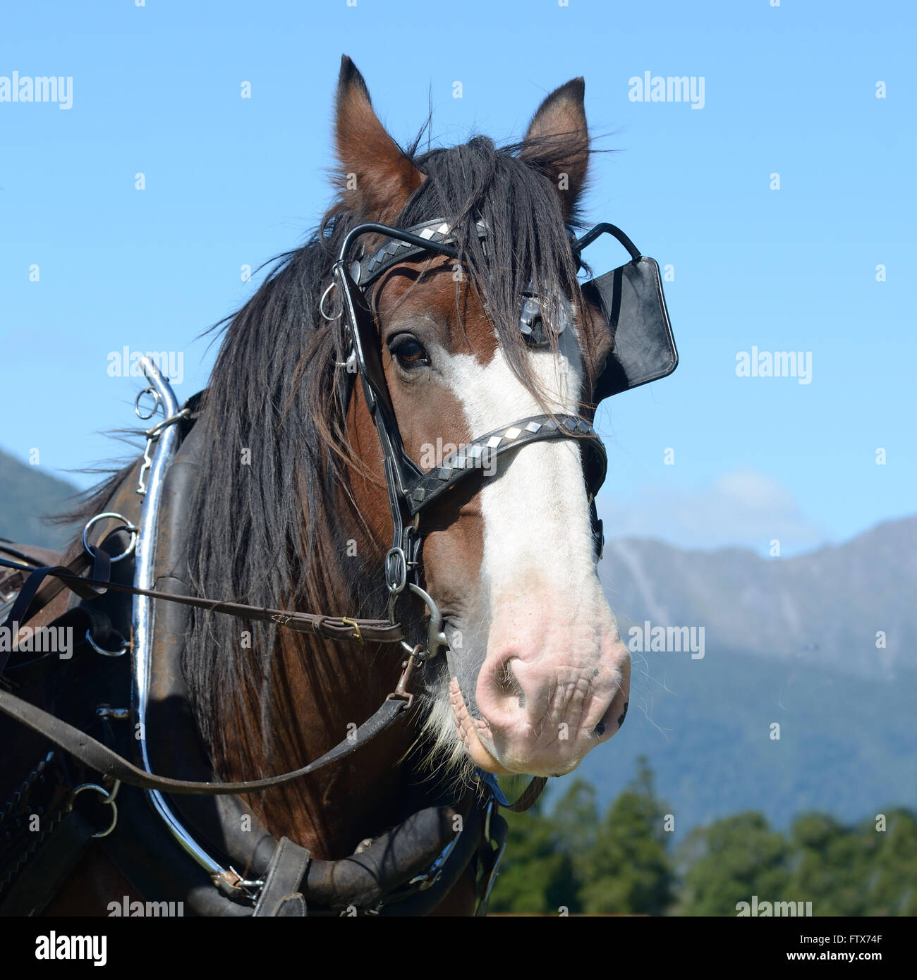 A Clydesdale horse harnessed and ready for work - Stock Image