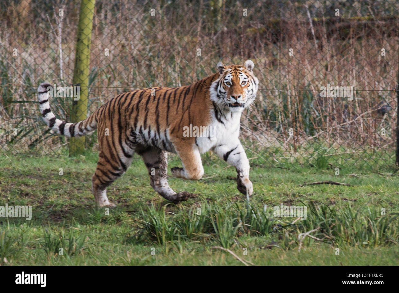 A tiger during feeding time at Longleat Safari Park - Stock Image