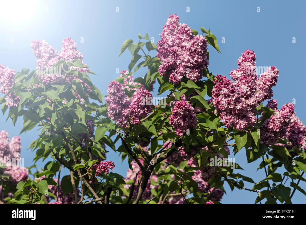 Nice bush terry lilac on blue sky background - Stock Image