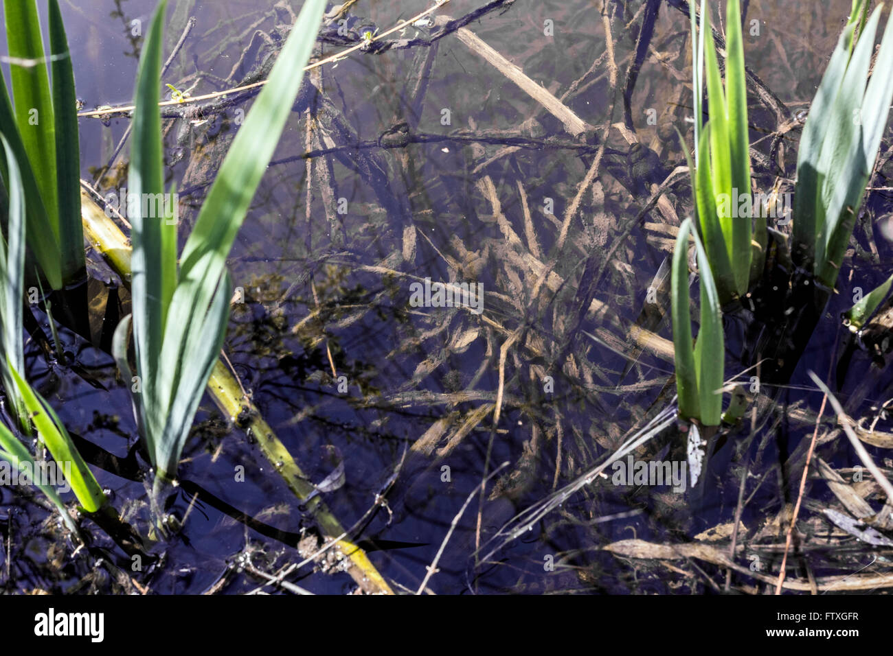 Grass roots under water in sunlight weather - Stock Image