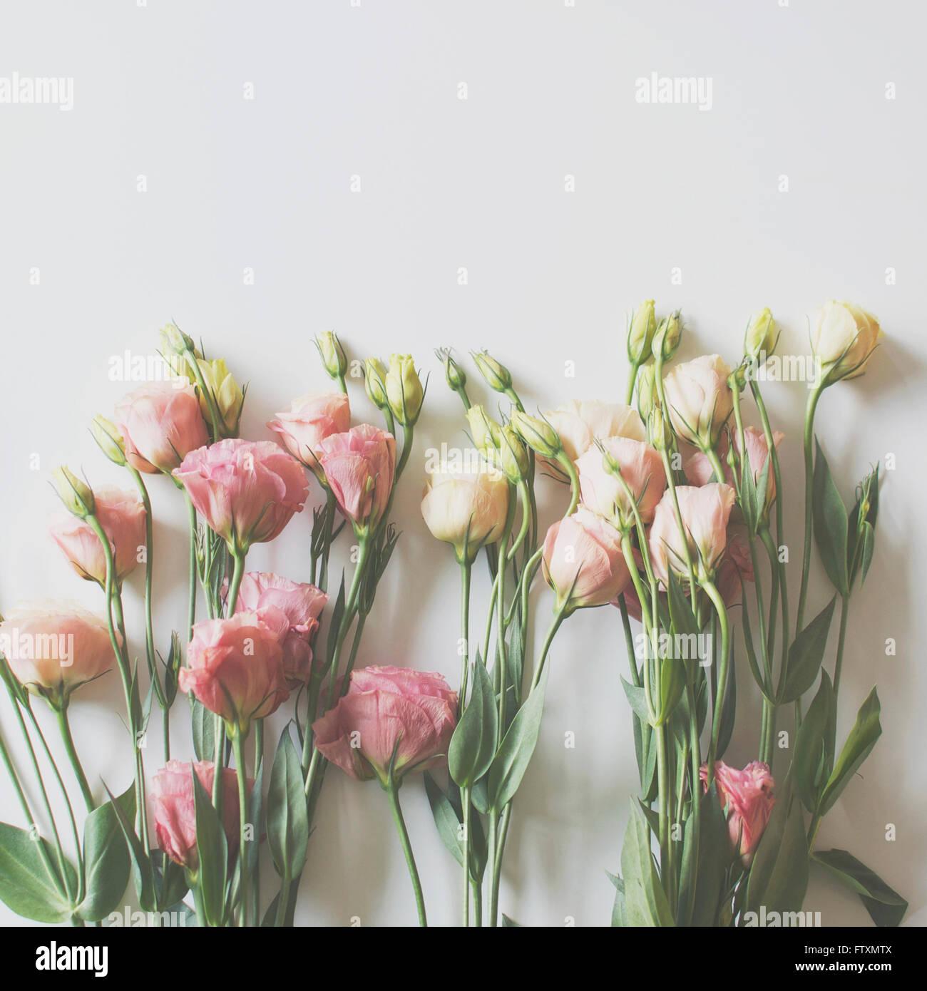 Lisianthus flowers on plain background - Stock Image