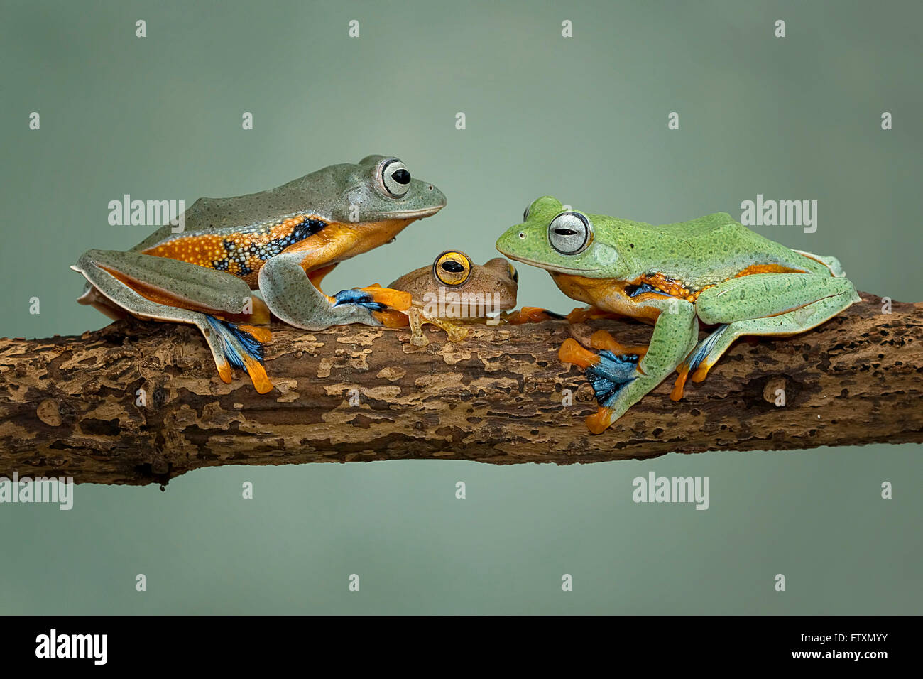 Three tree frogs sitting on branch, Indonesia - Stock Image