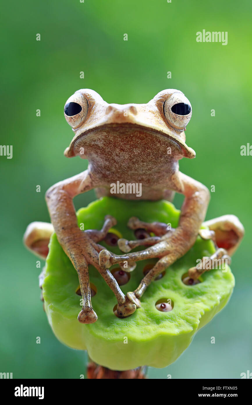 Close-up Portrait of an eared tree frog, Indonesia - Stock Image