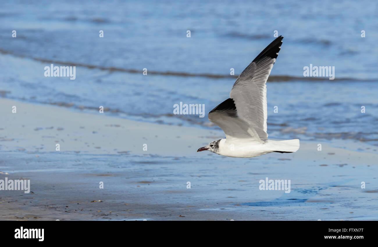 Seagull flying over beach, Mustang Island, Corpus Christi, Texas, America, USA - Stock Image