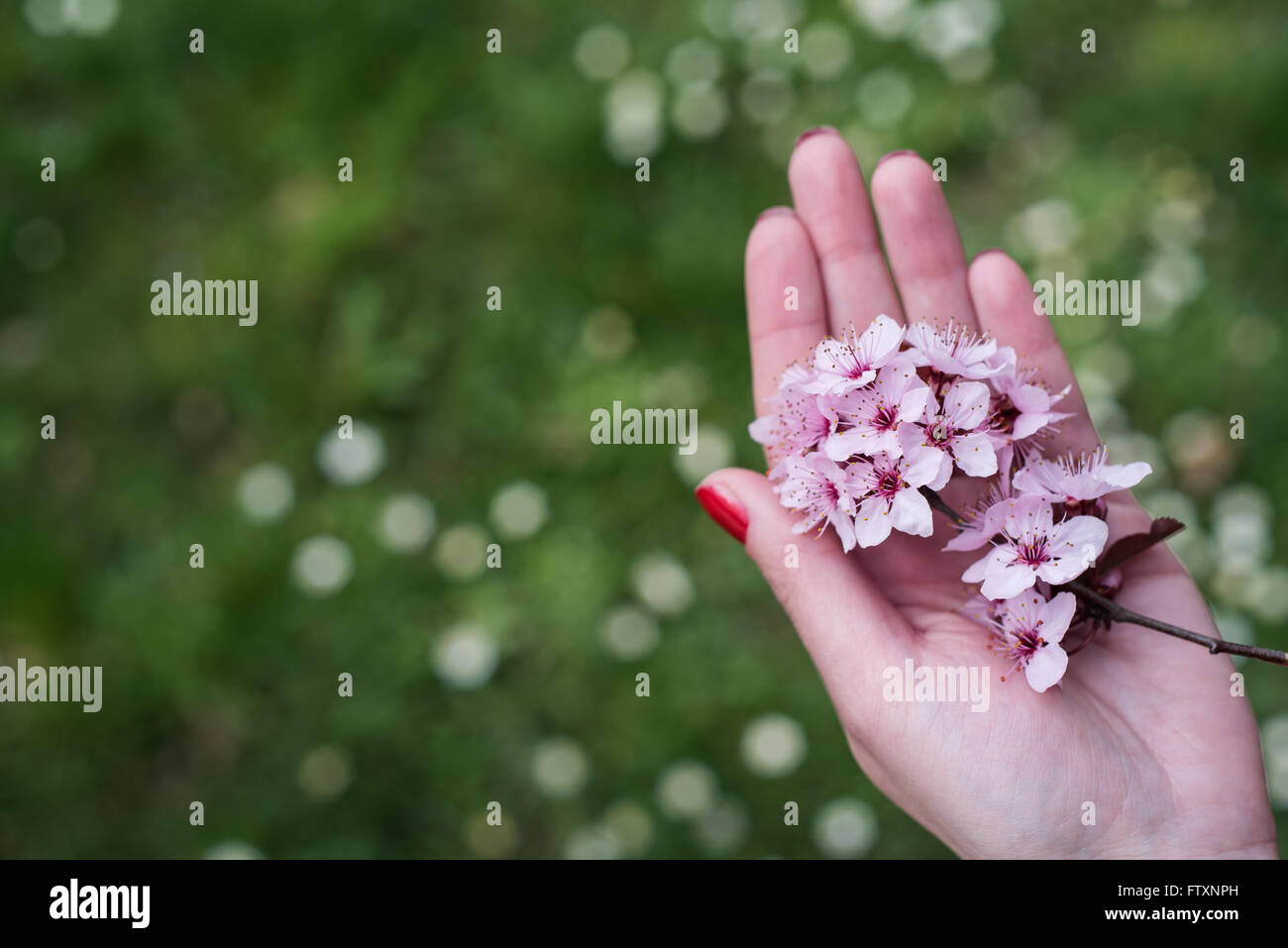 Woman holding pink cherry blossom flowers in her hand Stock Photo
