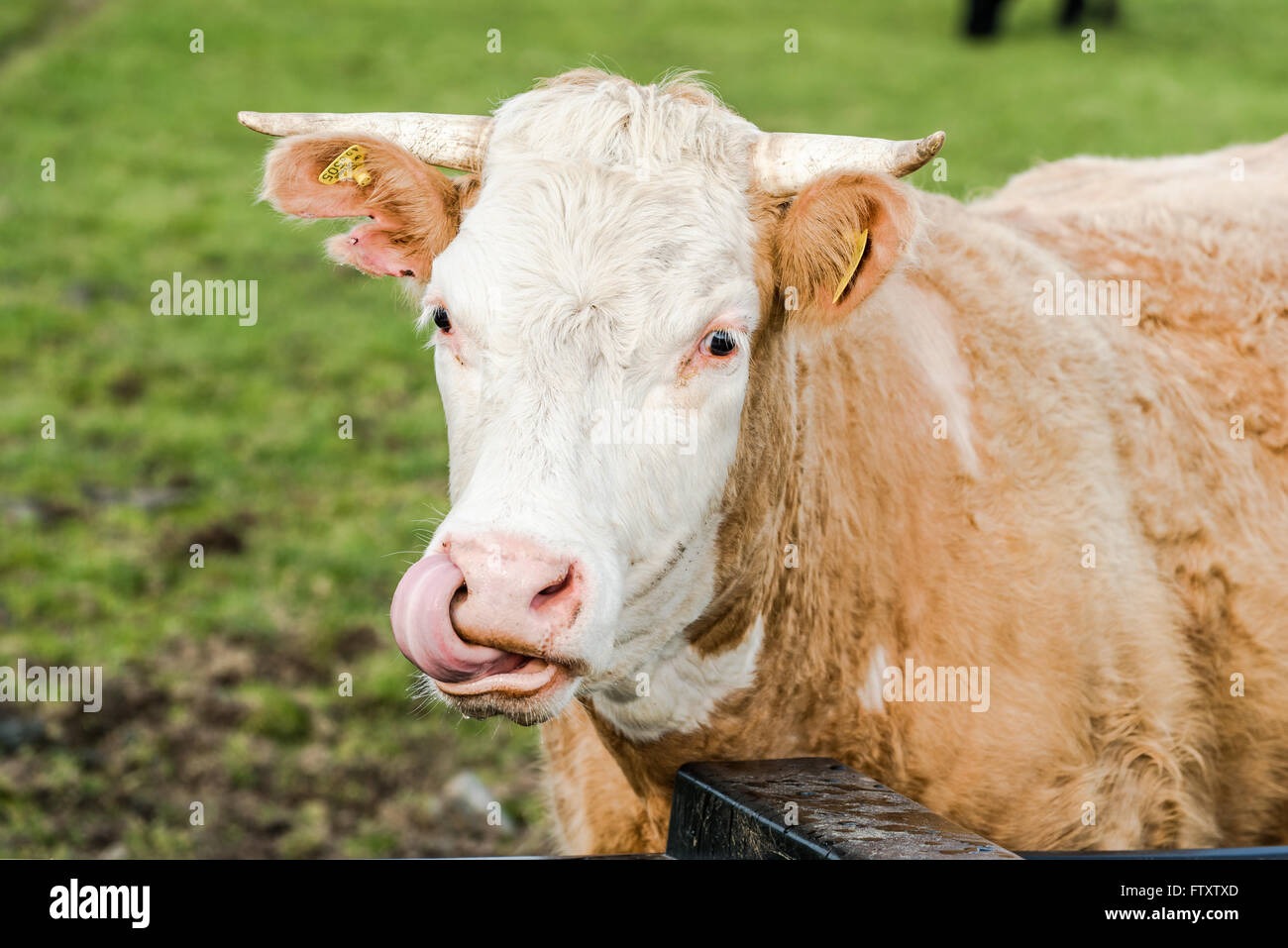 Funne cow face with tounge out, close head shoot - Stock Image