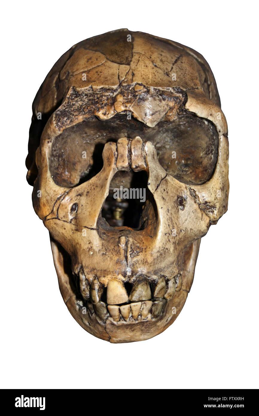 Homo ergaster Skull Nariokotome Boy - Stock Image